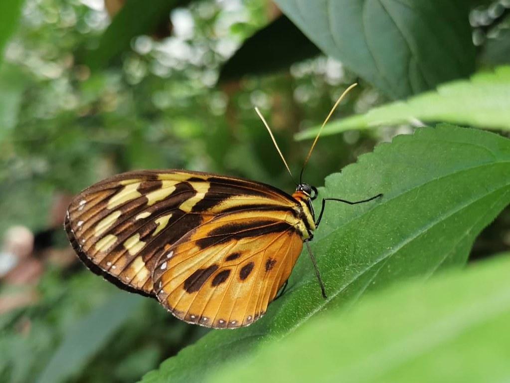 Ein prachtvoller Schmetterling im Bereich von Burgers' Mangrove.