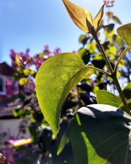Norwich leaf 🌿🍁🍂 2
