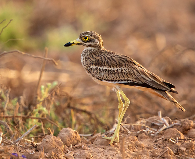 Stone Curlew on rough ground at La Marquesa