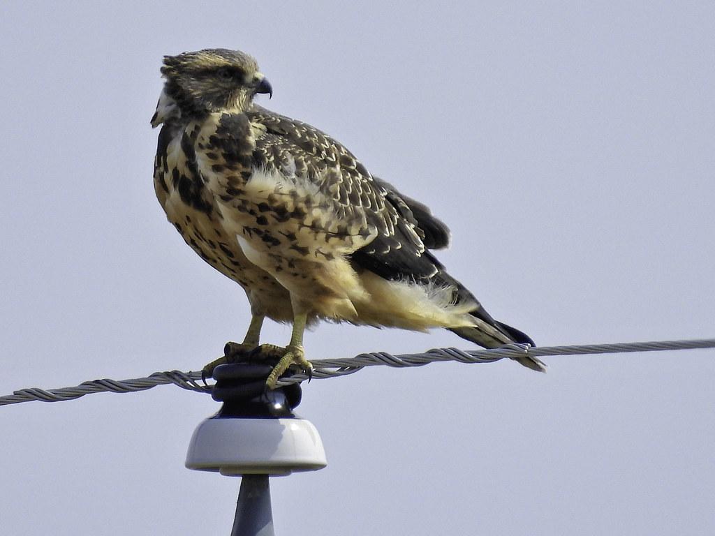 Swainson's Hawk Readies for Migration