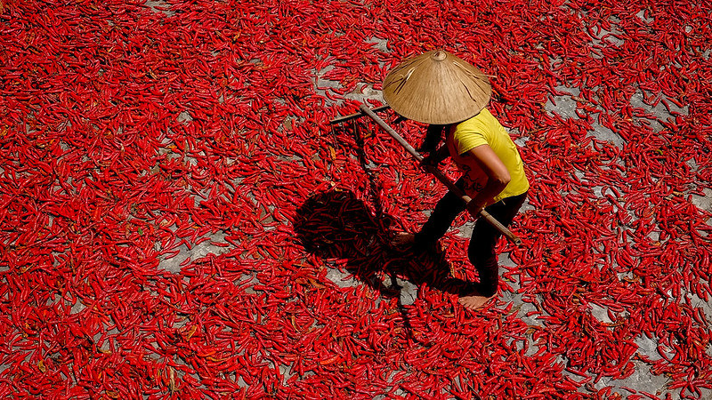 A picture from above looking down at a farmer laying out bright red hot peppers.