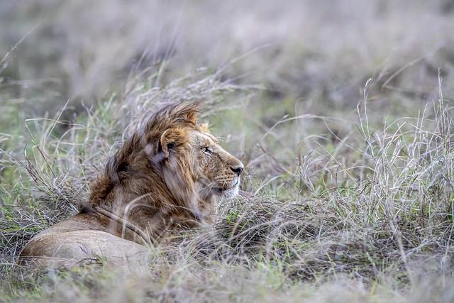 lion dans la savane Masai Mara en début de soirée