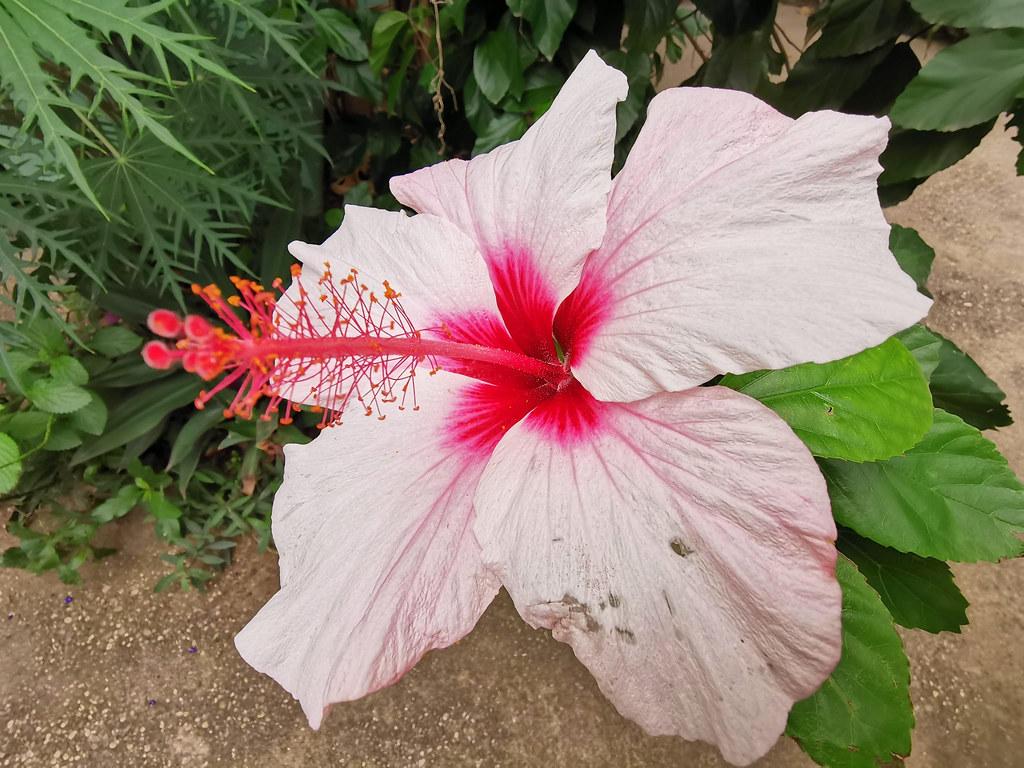 eine wunderschöne Hibiskus Blüte.