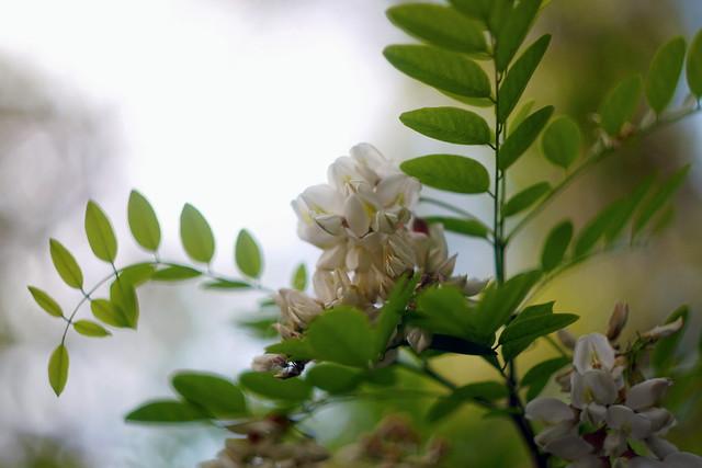 Цветение акации /  Acacia blossom (5)