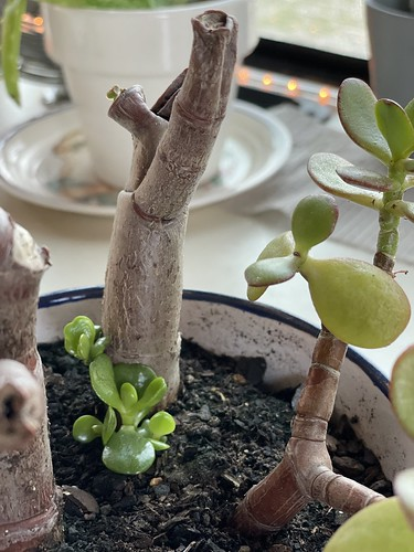Jade sprouts