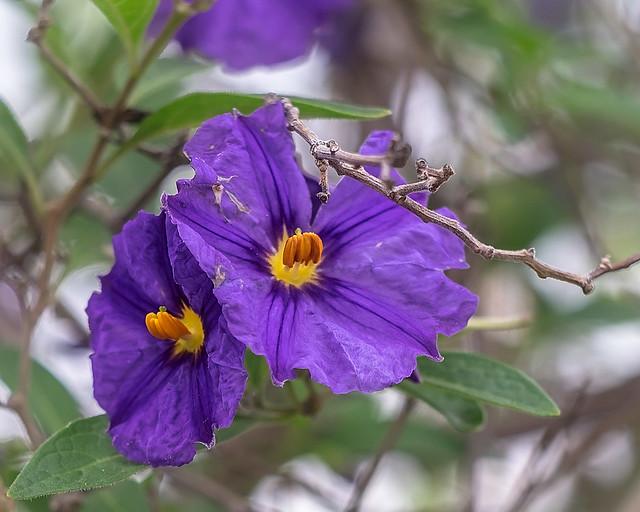 Lycianthes rantonnetii 😎 (botanical portrait of blossom, leaf & twigs)