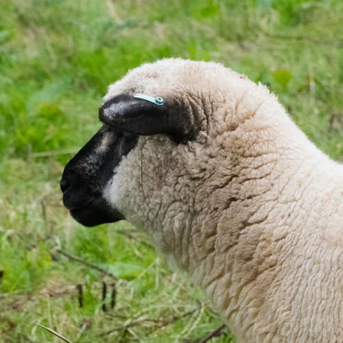 Black sheep, white sheep, Northycote