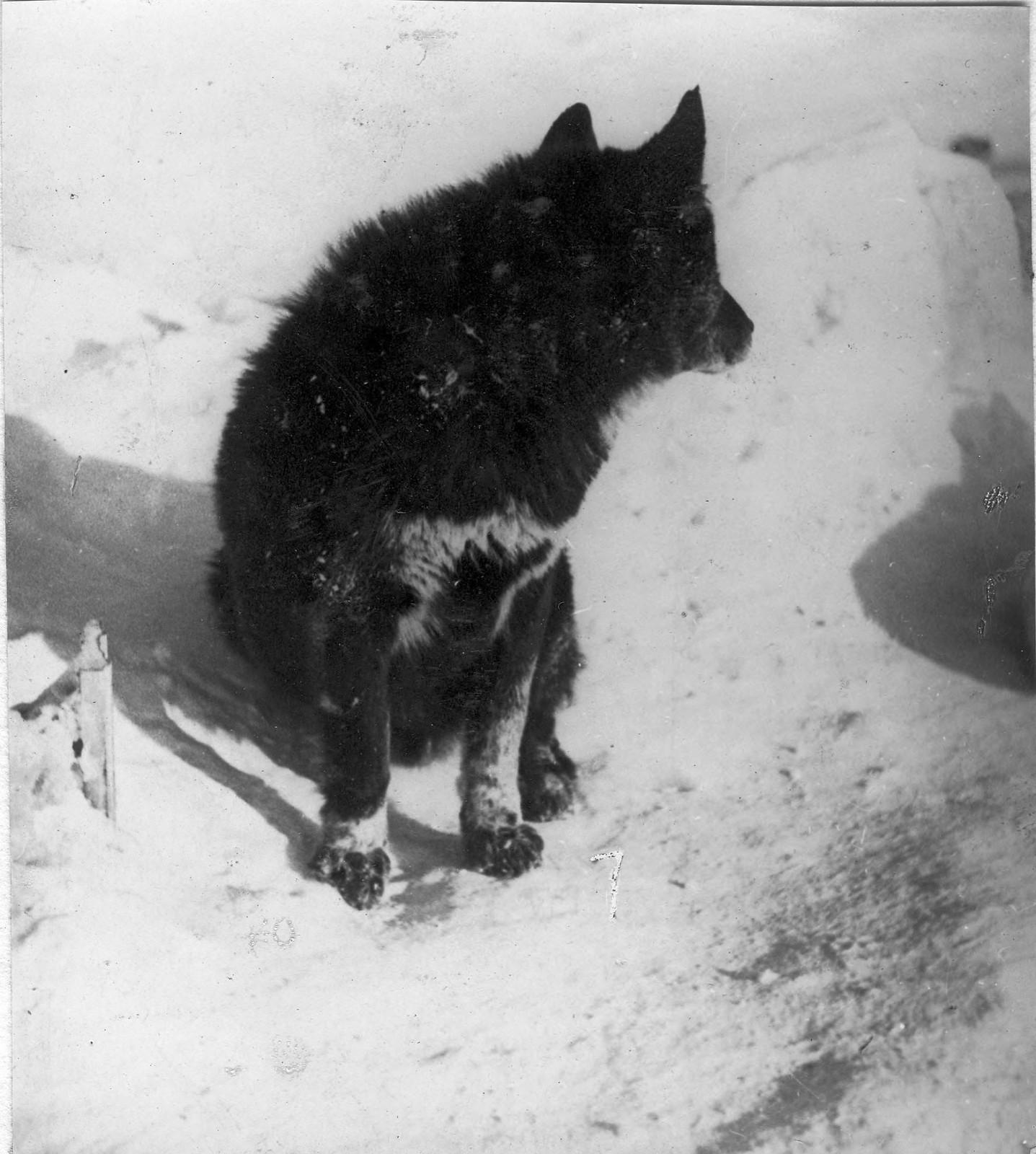 10. Ездовая собака