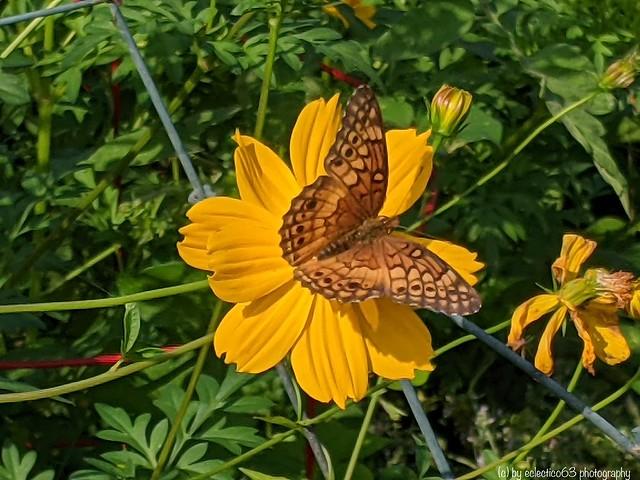 Golden pollination