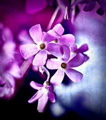 Purple Oxalis Woodsorrel