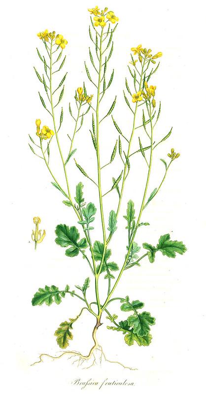 Mediterranean cabbage (Brassica fruticulosa)