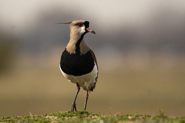 Tero -Vanellus chilensis-