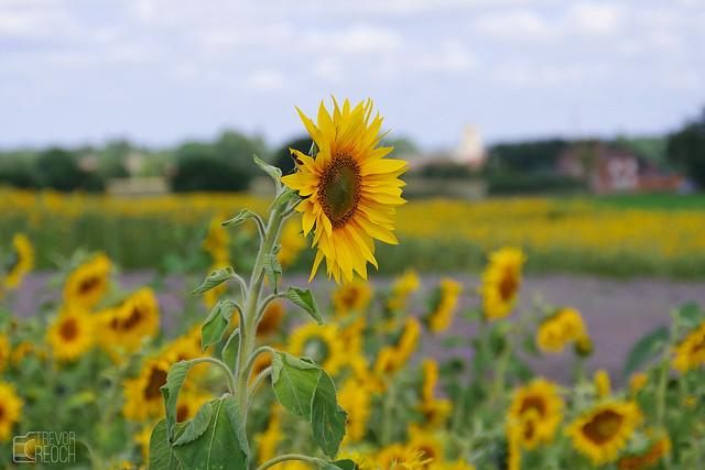 Sunflower, Standing Tall