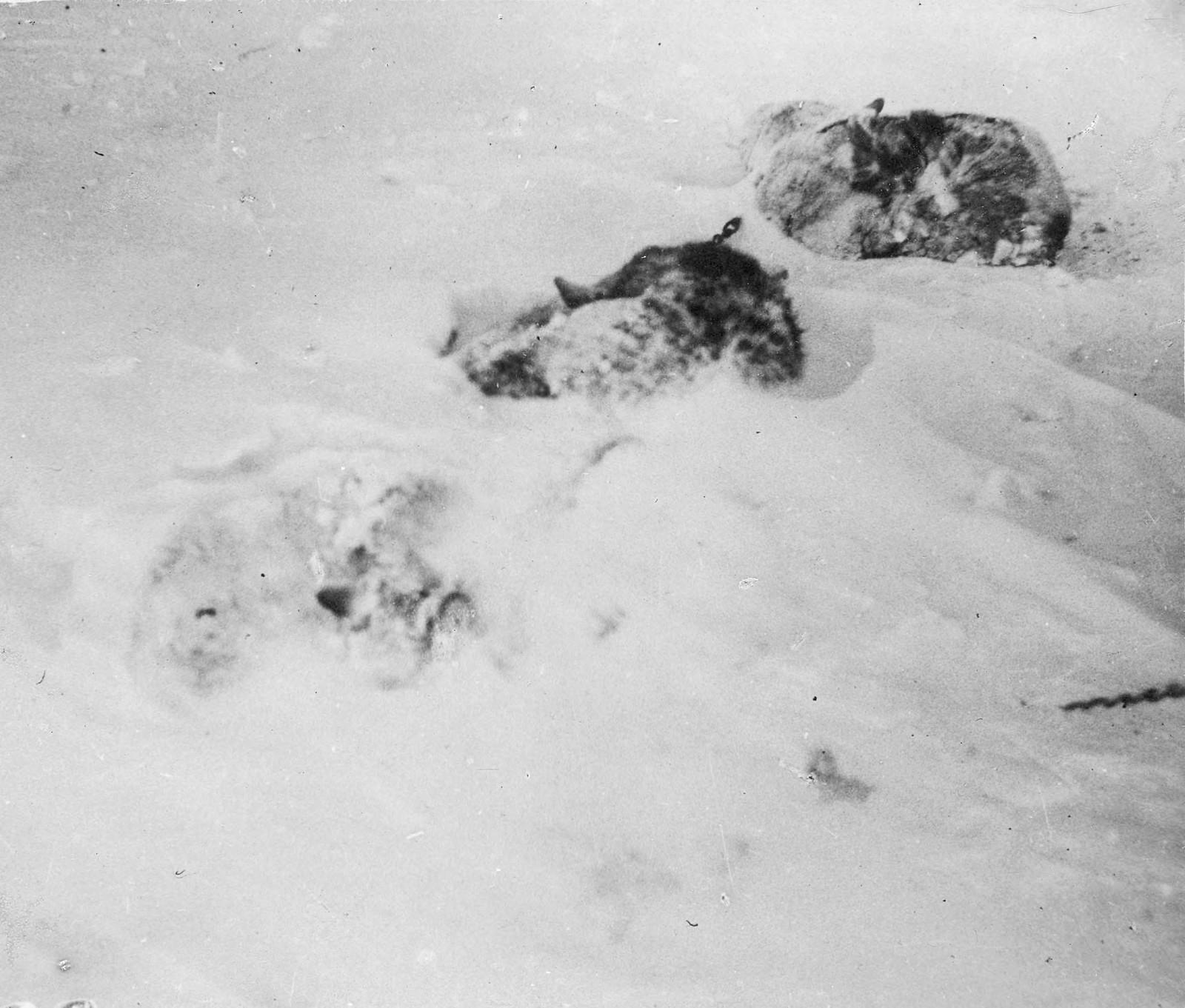 22. Упряжные собаки, занесенные снегом после пурги1