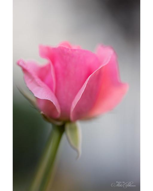 Rose Garden - Queen Elisabeth