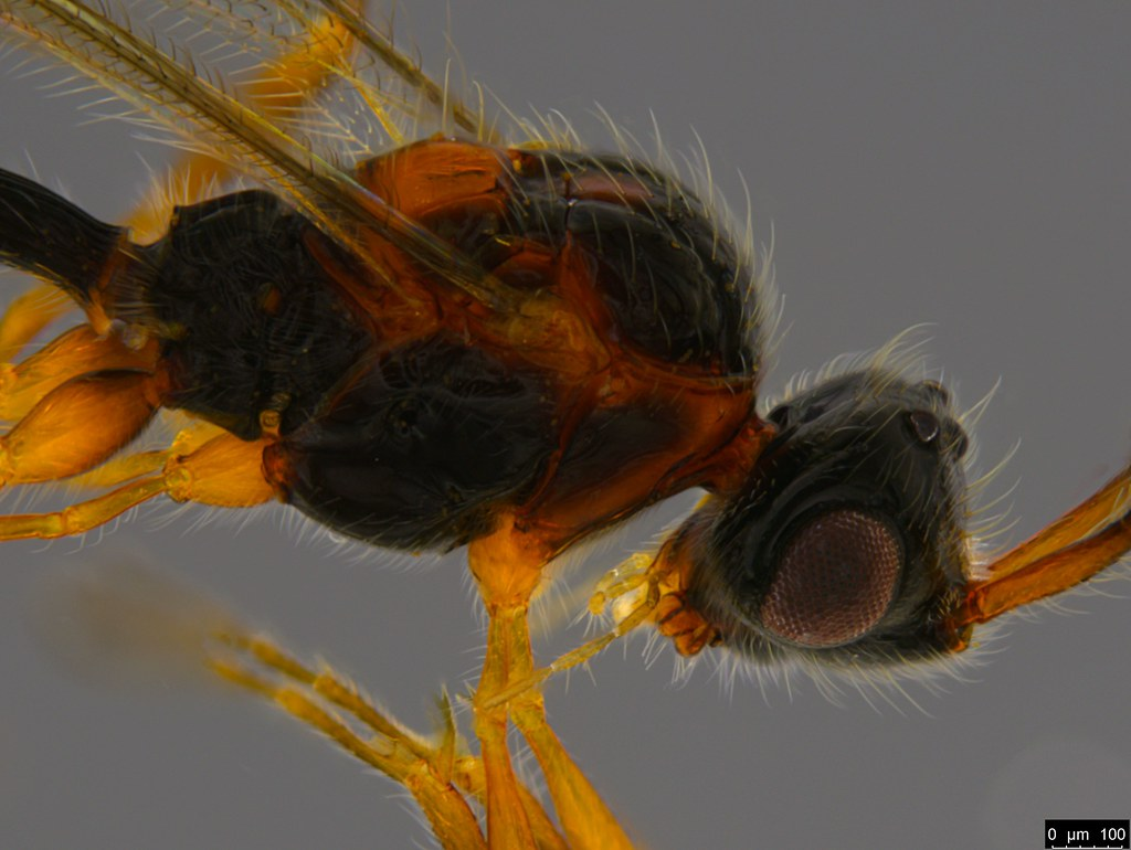 9b - Ambositrinae sp.