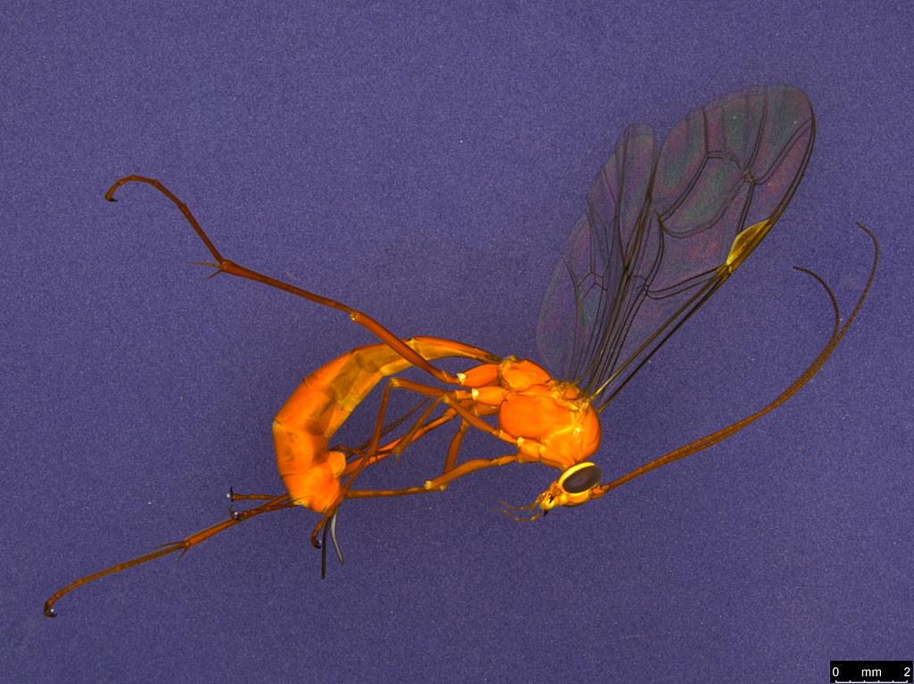 16a - Ichneumonidae sp.