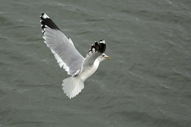 Common Gull, Burntisland, Fife