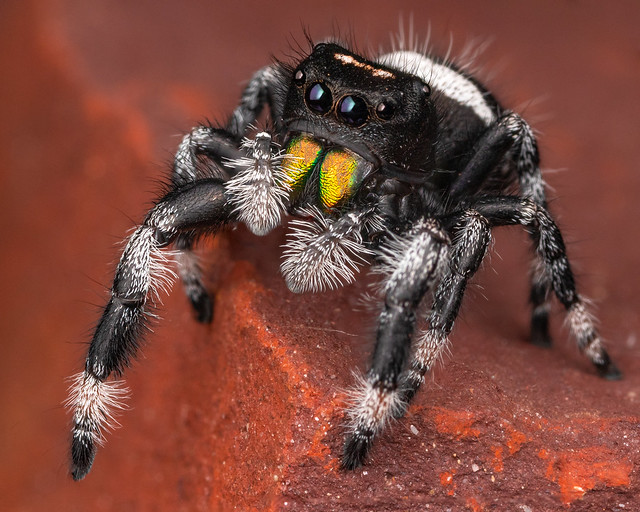 Male Regal Jumping Spider-6