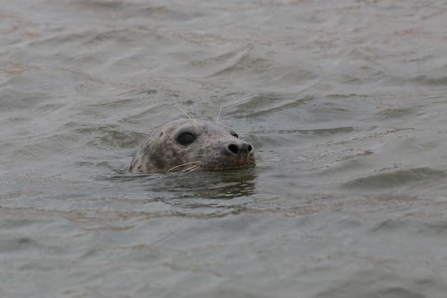 Seal at Blakeney Point