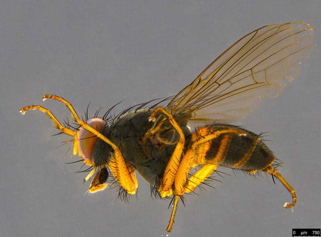 5b - Muscoidea sp.