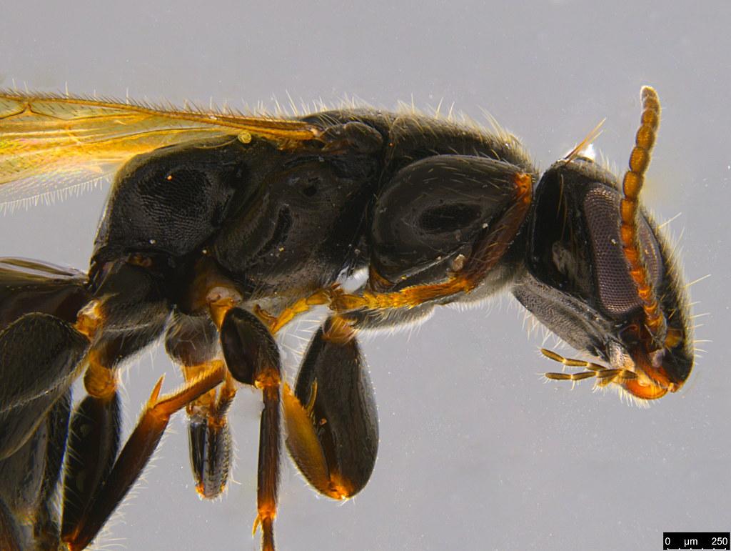 7c - Bethylidae sp.