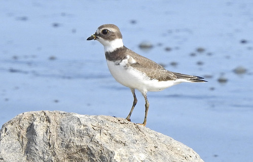 Semipalmated Plover - Braddock Bay East Spit - © Candace Giles - Aug 25, 2021
