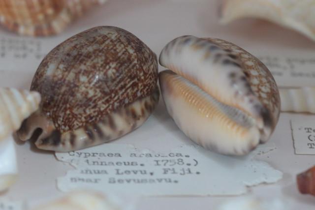 Sir Alfred Jodrell's Shell Museum