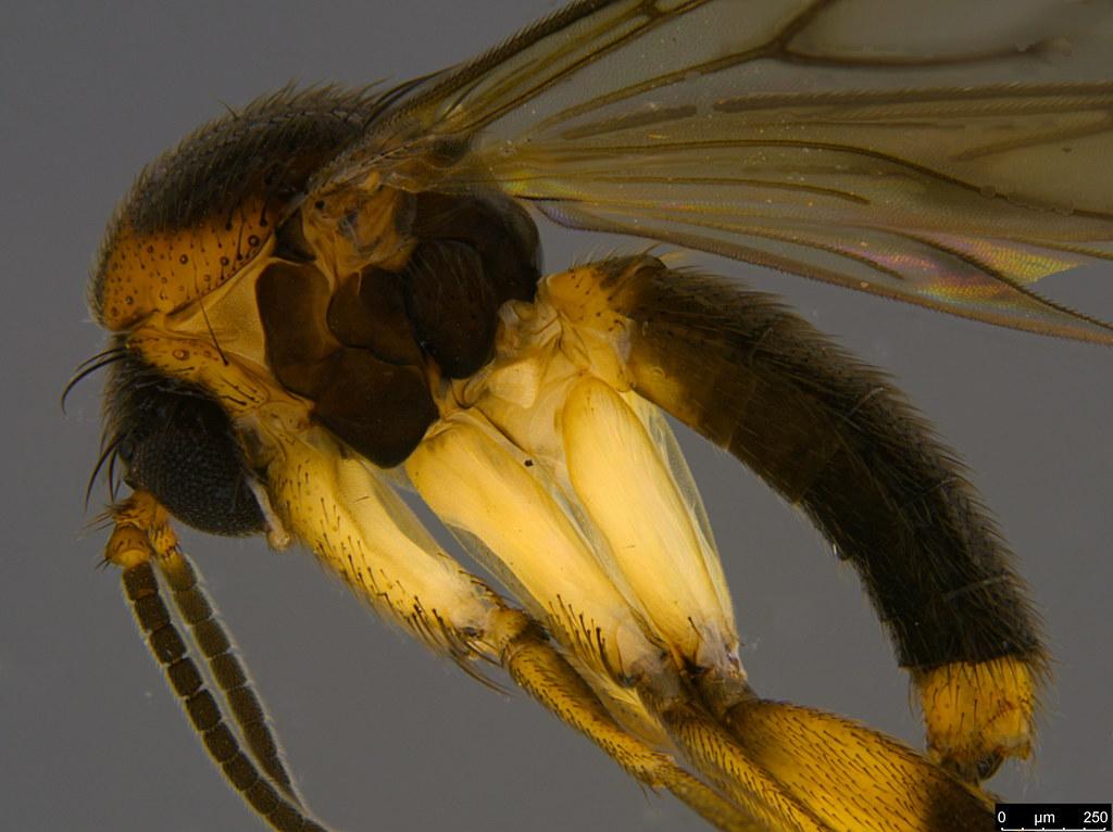 4c - Mycetophilidae sp.