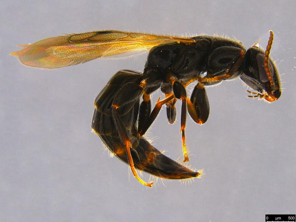 7b - Bethylidae sp.