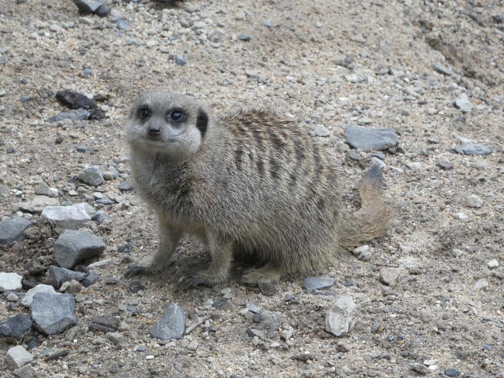 Meerkats in Bowland Wild Boar Park