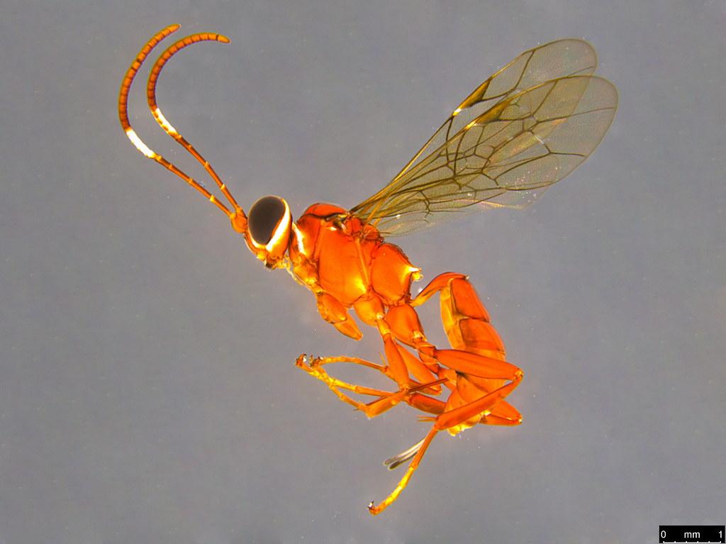 11a - Ichneumonidae sp.