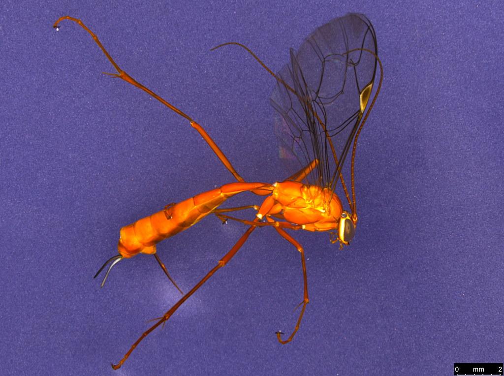 15a - Ichneumonidae sp.