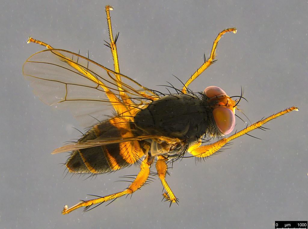 5a - Muscoidea sp.