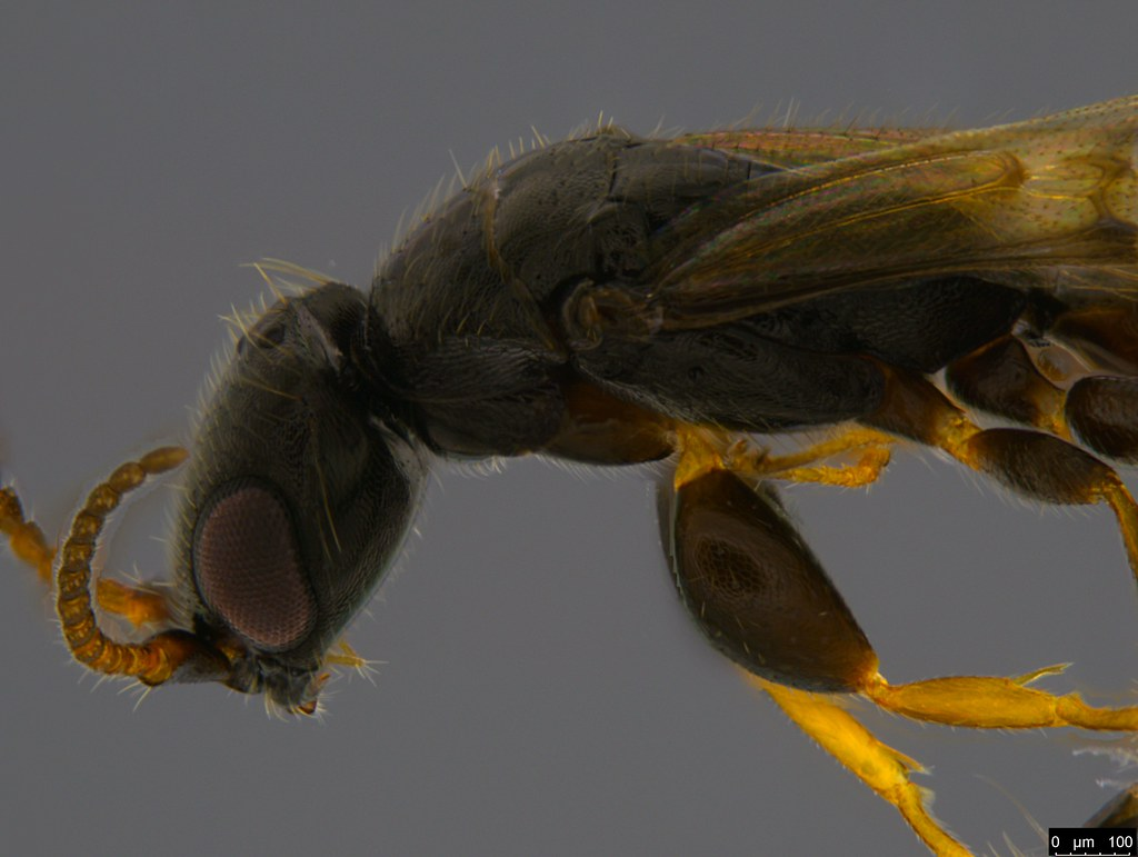 8b - Bethylidae sp.