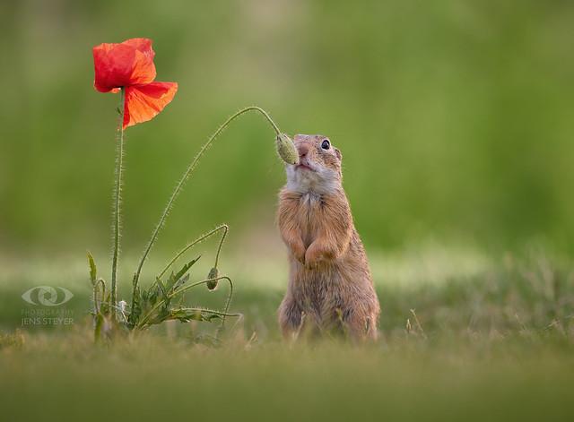 still undecided:  Europäischer Ziesel (Spermophilus citellus) - European ground squirrel  ·  ·  ·   (R5B_5192)  ·  ·  *explored*