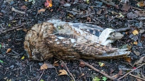 By the Railway Walk - tawny owl