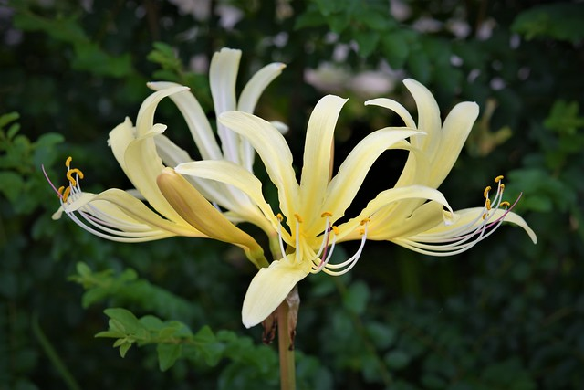 Yellow surprise lily