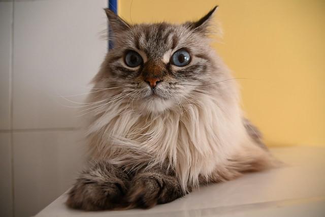 Such a beautiful enourmous blue feline cat eyes observing you