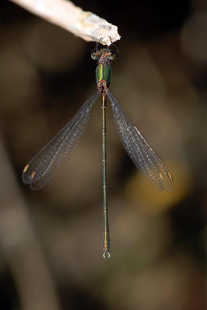 Lestes viridis (Leste vert)