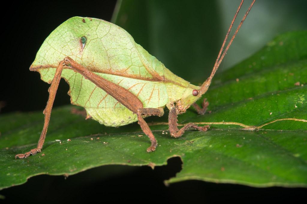 Leaf Katydid (Tettigoniidae)