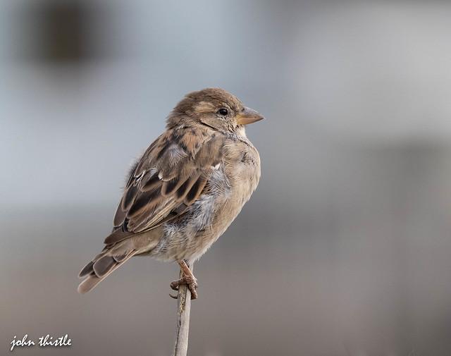 Sparrow (juv)