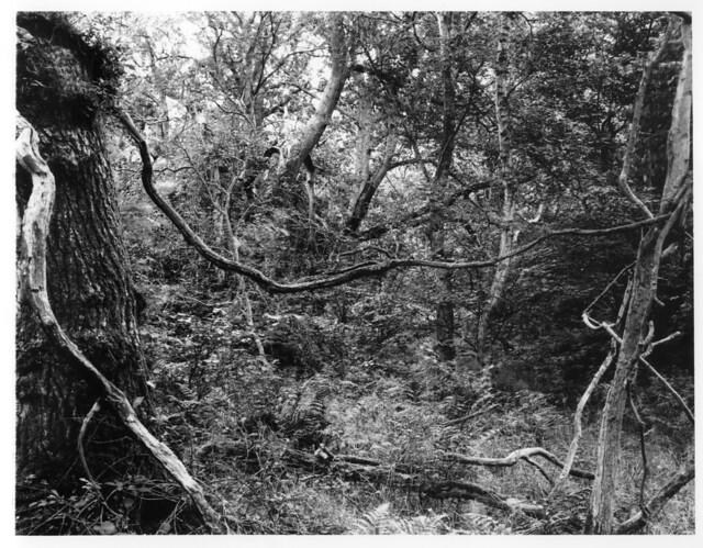 Hyons Wood, Walker Titan SF with Rodenstock Sironar N 150mm, Ilford Ortho Plus in HC110 8x10
