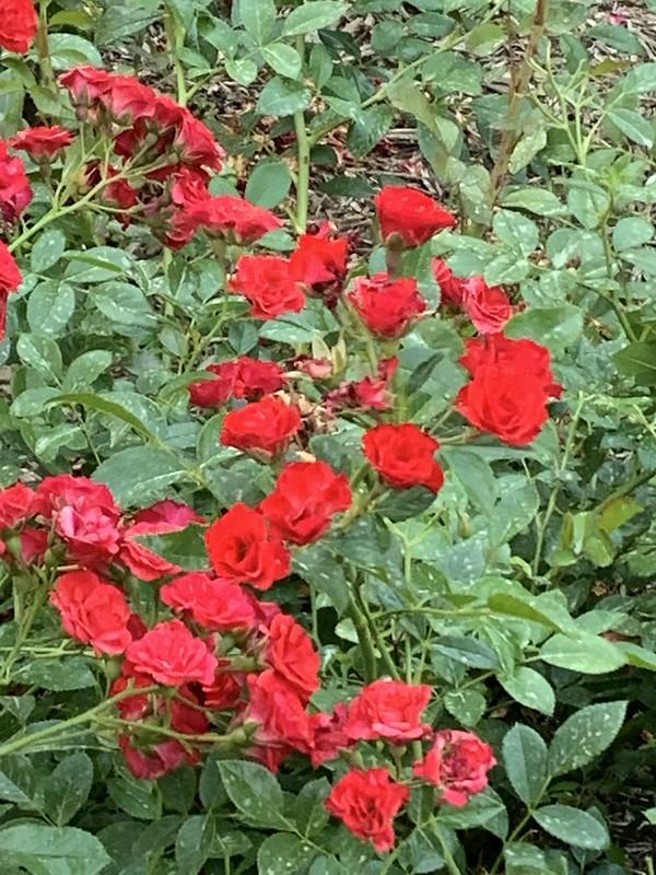Scarlet Meidiland 4