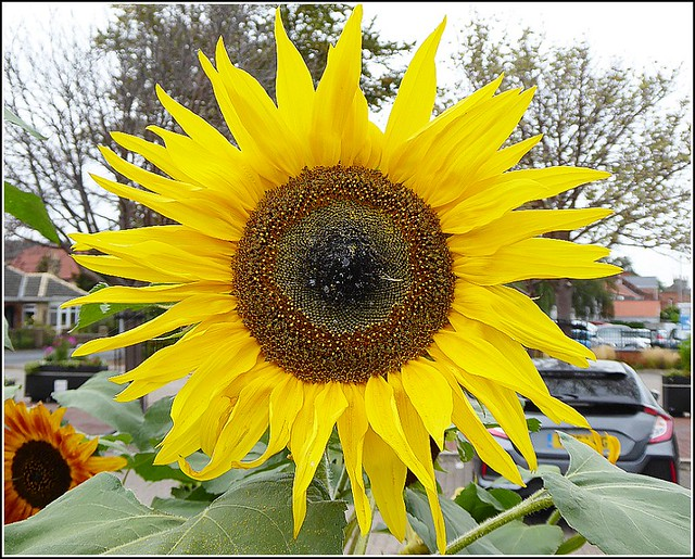 Sunflower  Head ...