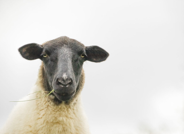Portrait of a Schaf