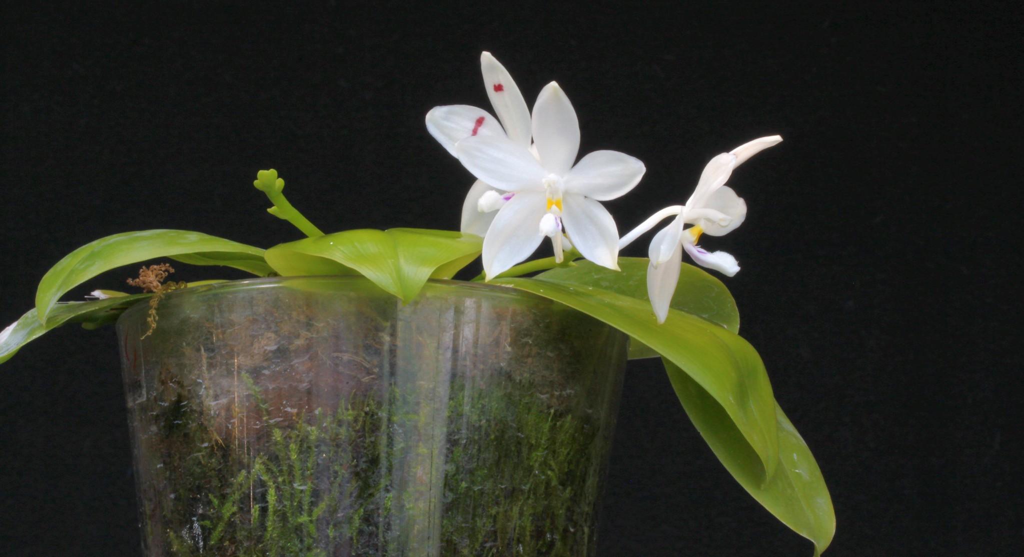 Phalaenopsis speciosa blue x speciosa red 51425622871_7df7f02cc8_k
