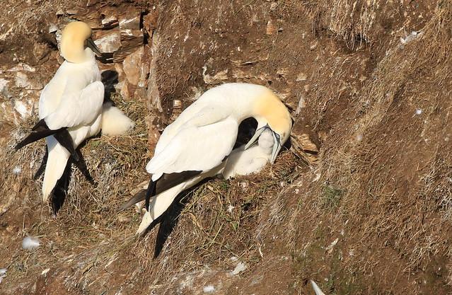 Gannet feeding Chick.