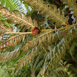 Woodwardia radicans – mature frond underside