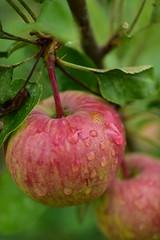 Dewdrop apples